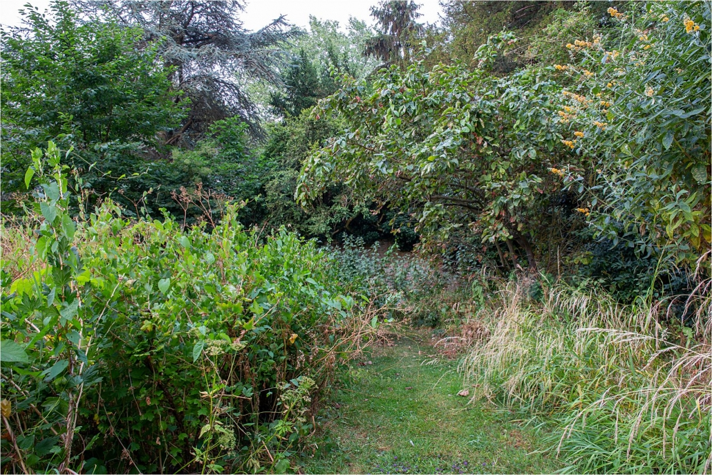 Overgrown fruit bushes left to seed