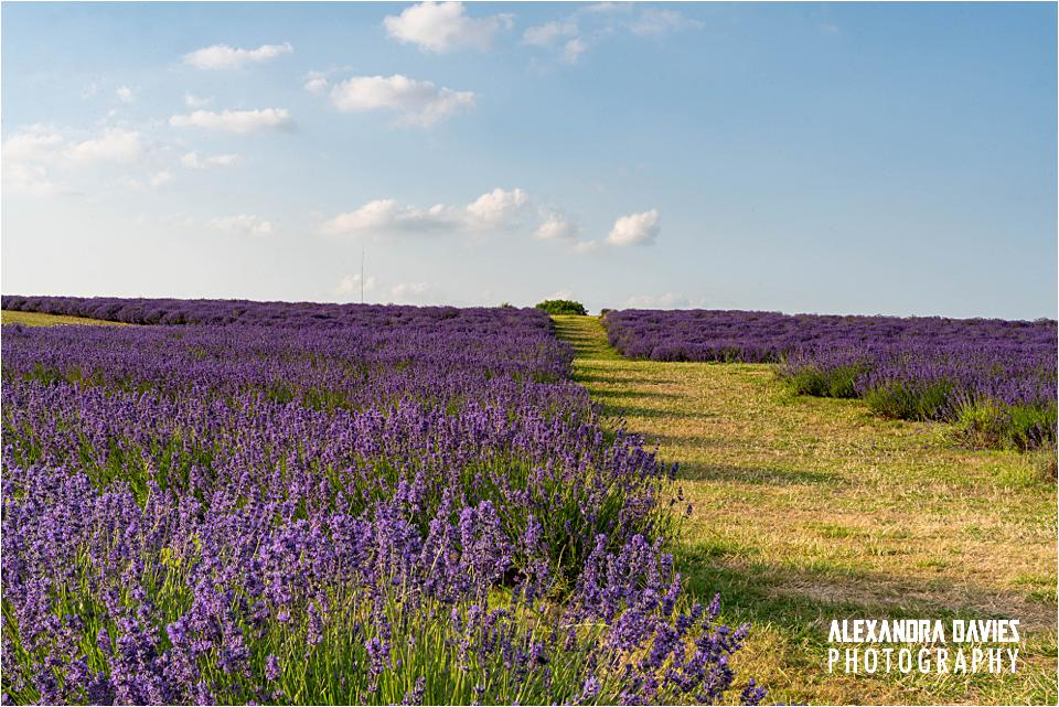 Cotswold Lavender Snowshill