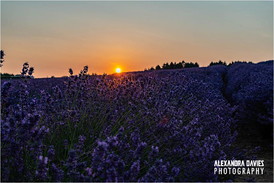 Snowshill Lavender Sunset